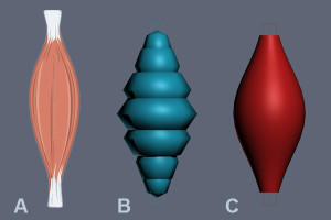 Muscles comparison